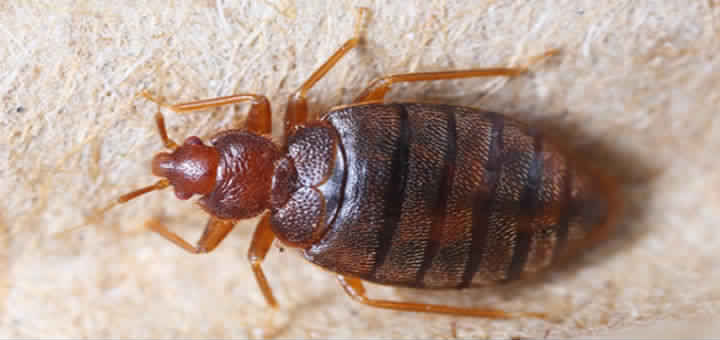 Bed Bugs Harder To Kill