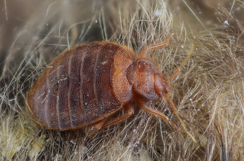 10 Myths About Bed Bugs