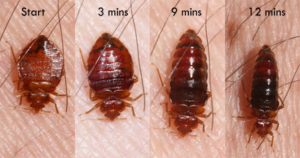 Habits and Traits of Bed Bugs