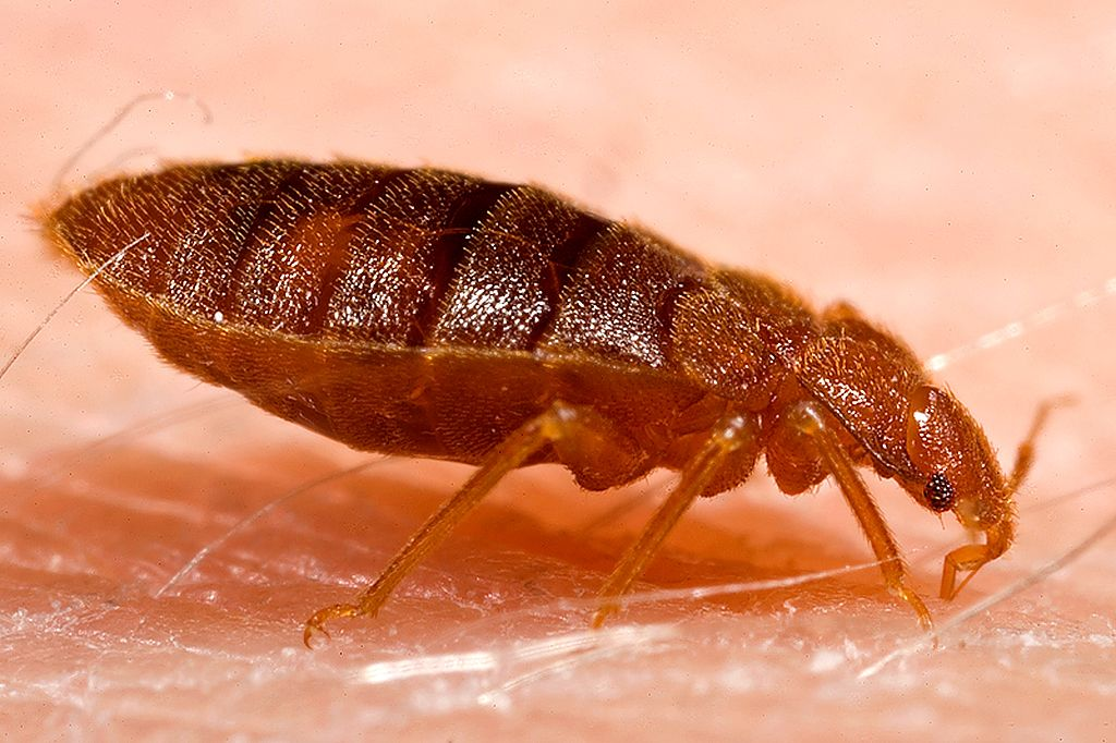 Meet the Bed Bugs