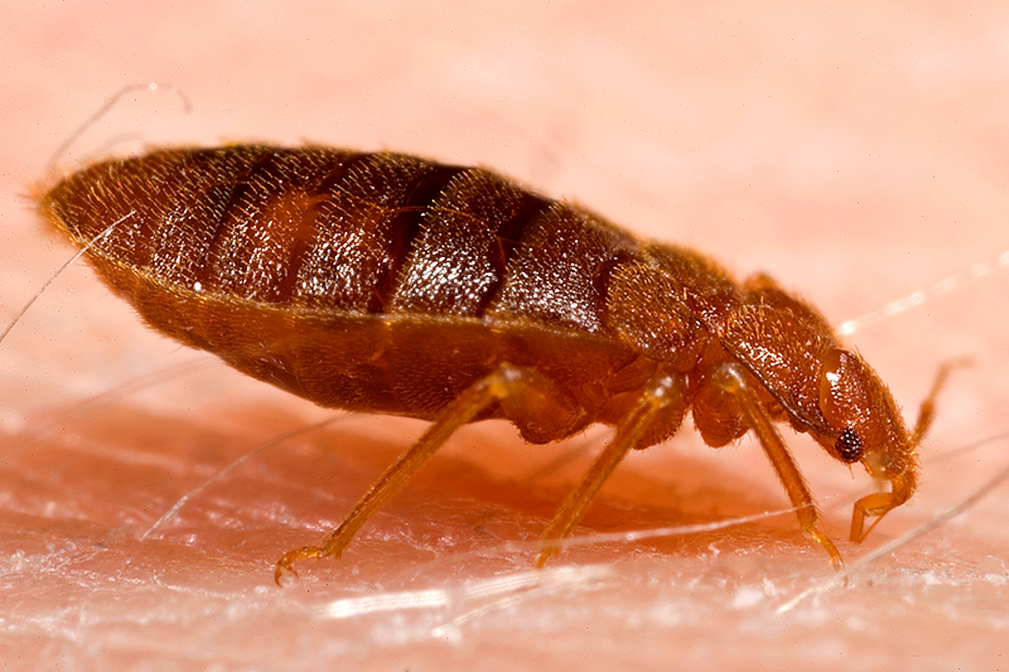 Bed Bugs And Canine Inspections