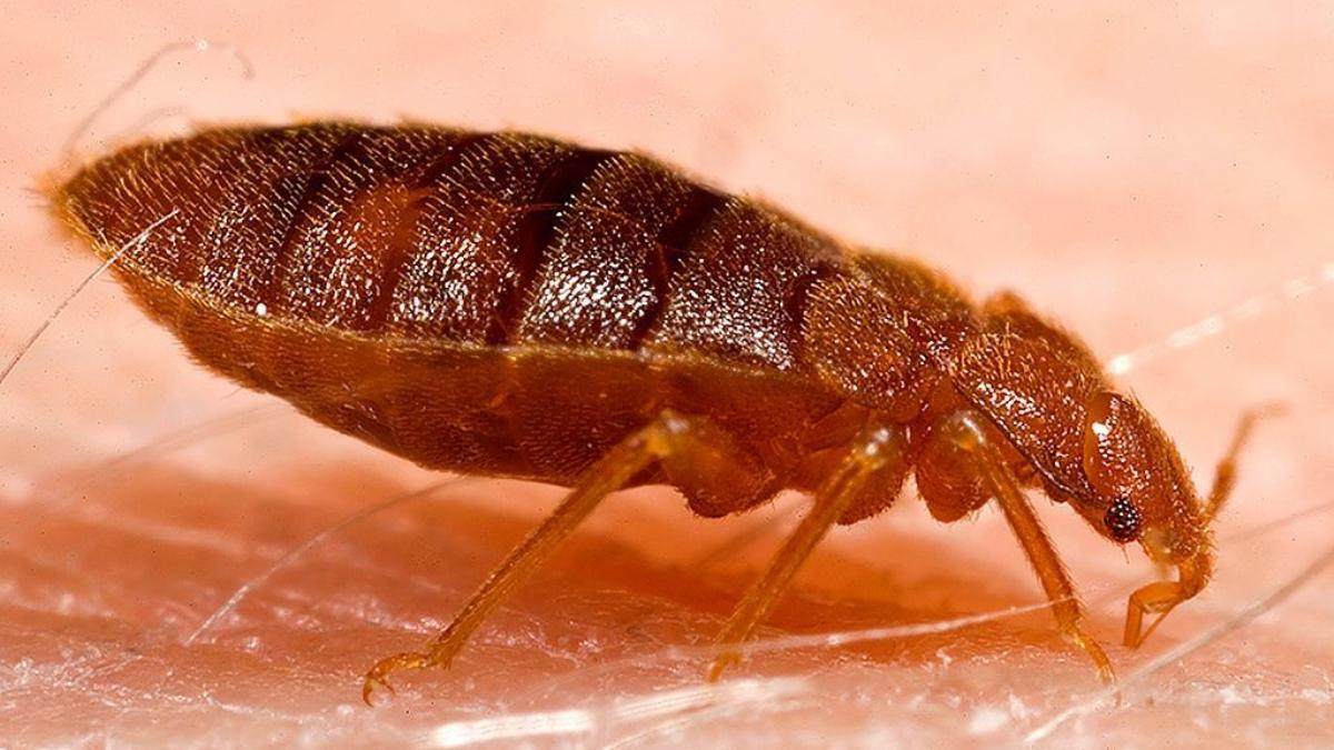 How Common Are Bedbugs?